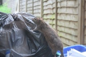 Rat in bins
